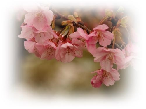 河津桜咲き初めし_c0026824_17141331.jpg