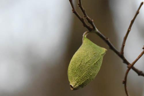 20年早春の自然(8)…黄緑の繭_c0062934_20051073.jpg