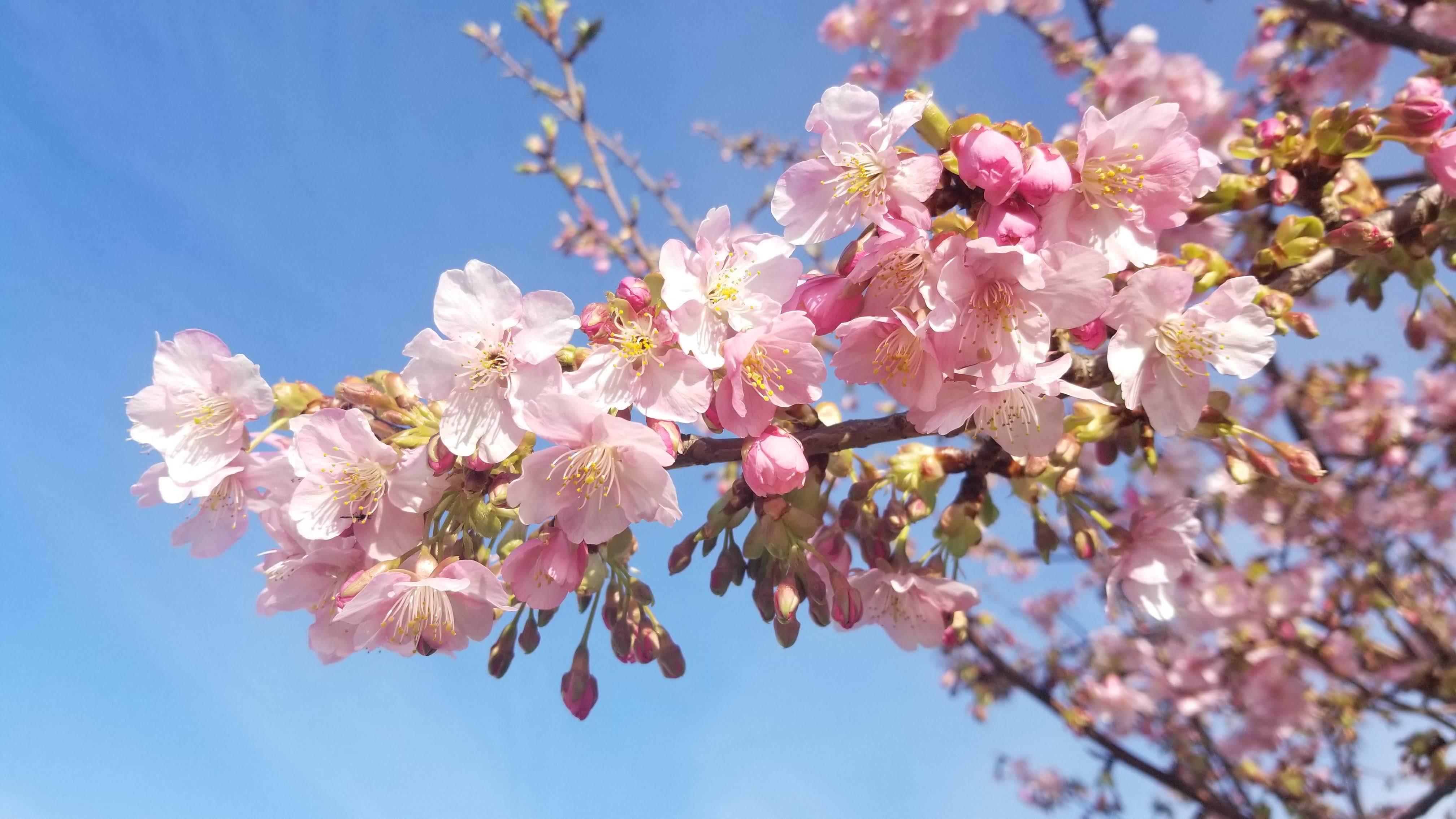河津桜の定点観測_e0202348_20384452.jpg