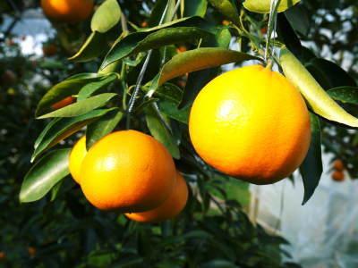 究極の柑橘『せとか』 令和2年の出荷スタート!収穫の様子を現地取材!(番外編)商品ラインナップ紹介!_a0254656_16514904.jpg