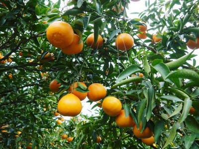 究極の柑橘『せとか』 令和2年の出荷スタート!収穫の様子を現地取材!(番外編)商品ラインナップ紹介!_a0254656_16581751.jpg