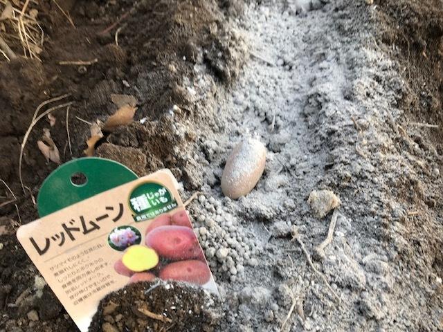 薪ストーブの灰をまぶしてジャガイモ植え付け2・19_c0014967_12200111.jpg