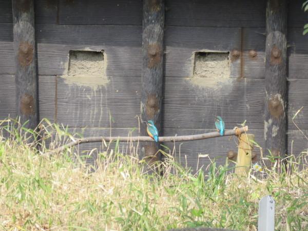 カワセミが巣穴掘り!_d0121678_15153224.jpg