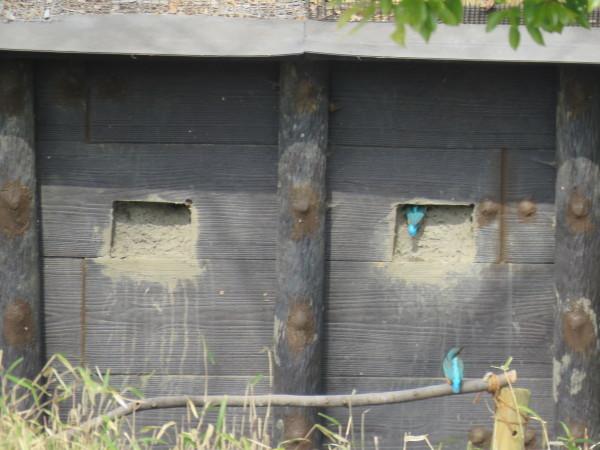 カワセミが巣穴掘り!_d0121678_15154653.jpg