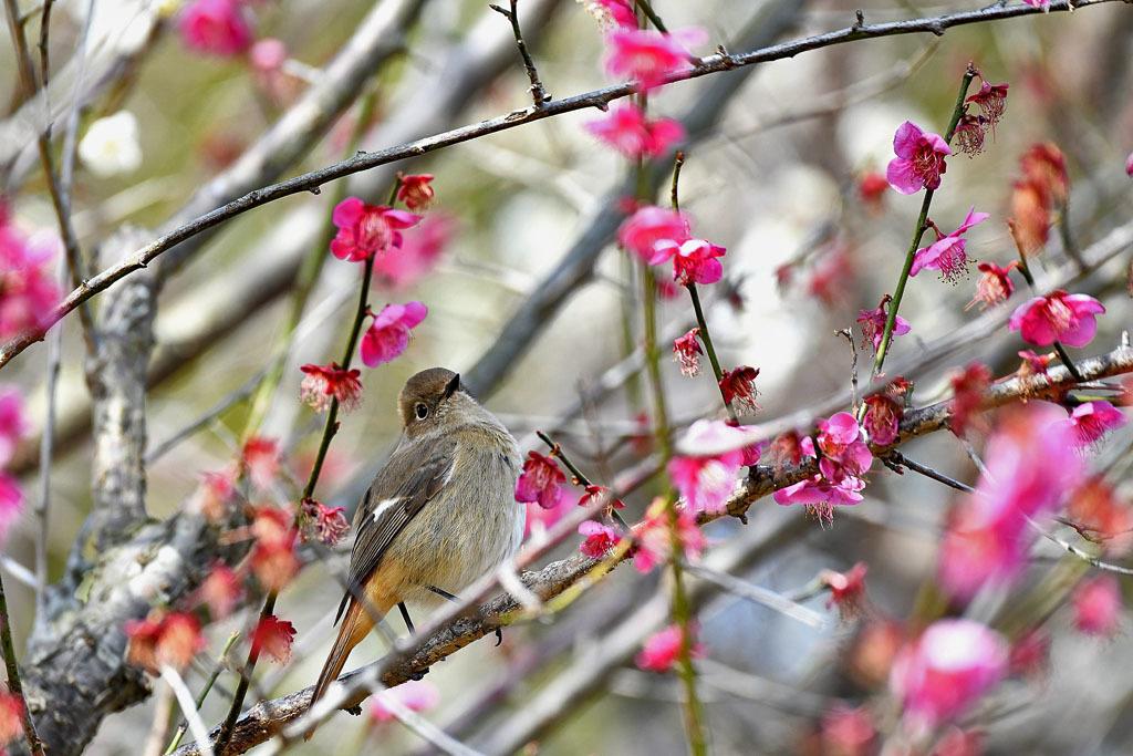 梅林の鳥達_b0024798_15324778.jpg