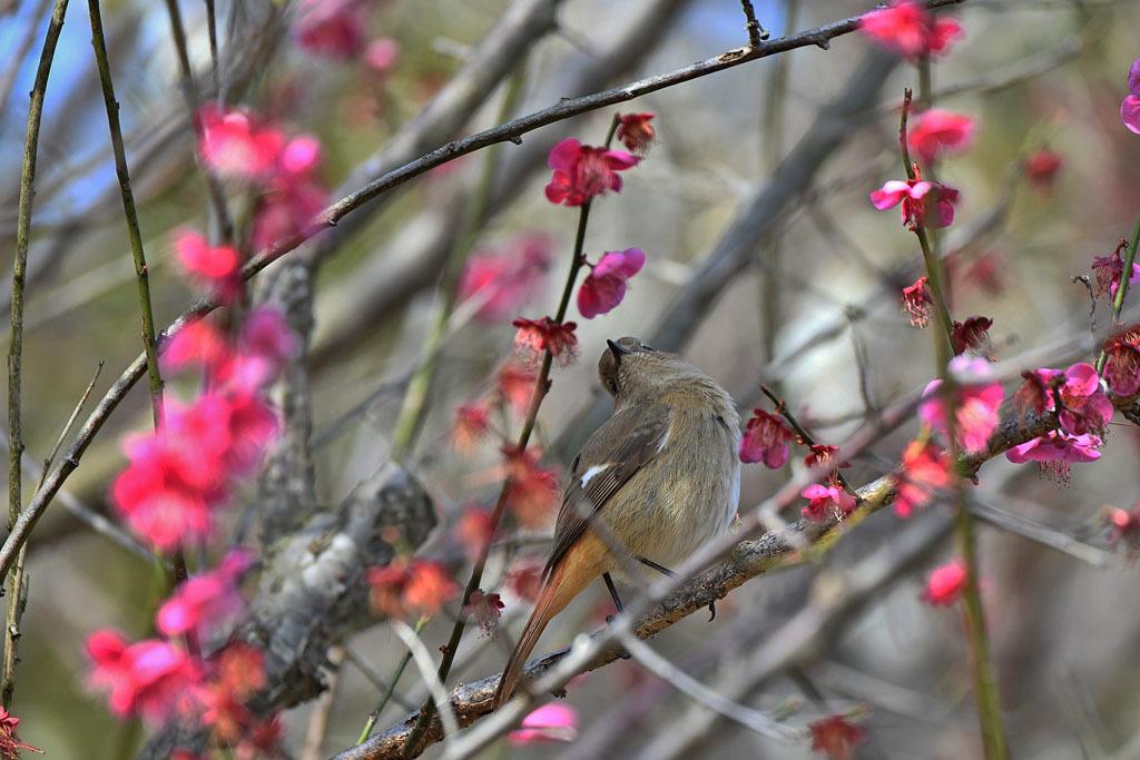 梅林の鳥達_b0024798_15330560.jpg