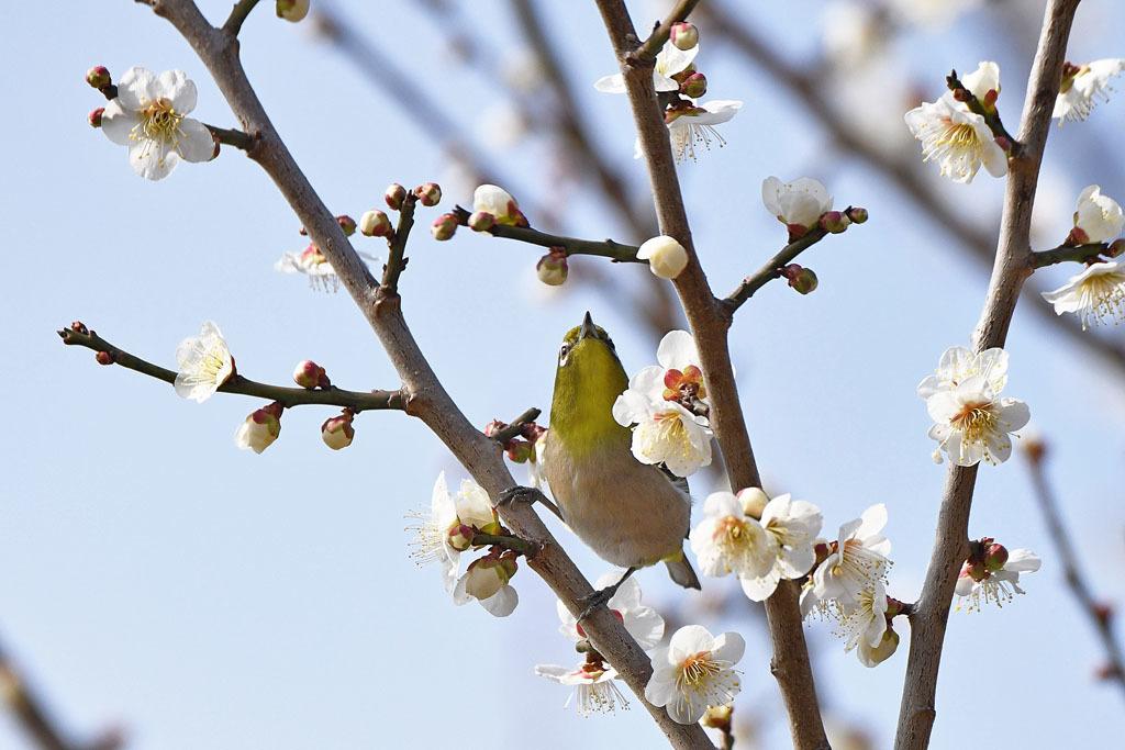 梅林の鳥達_b0024798_15335473.jpg