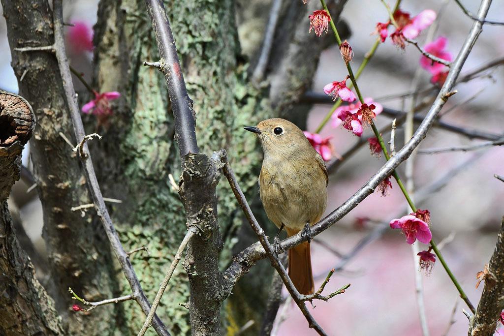 梅林の鳥達_b0024798_15450863.jpg