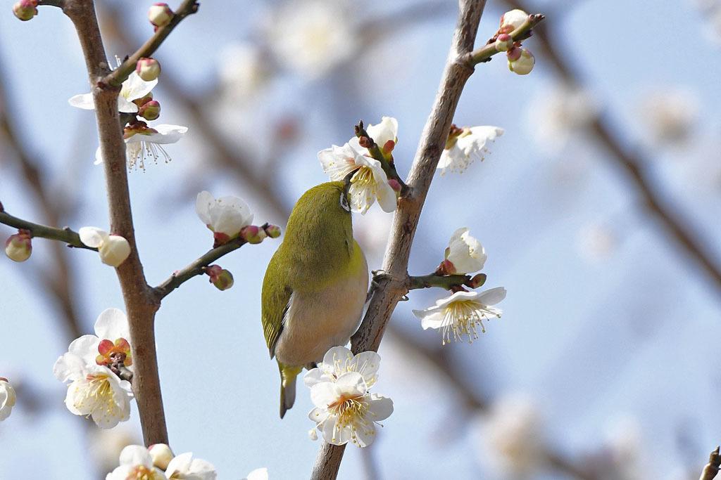 梅林の鳥達_b0024798_15474456.jpg