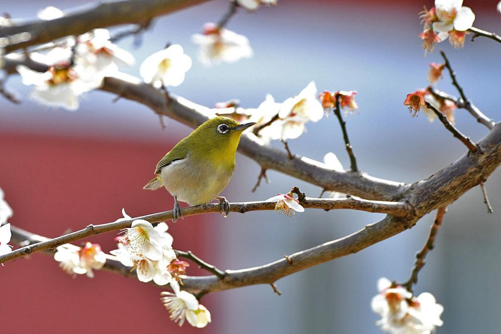 梅林の鳥達_b0024798_15481833.jpg