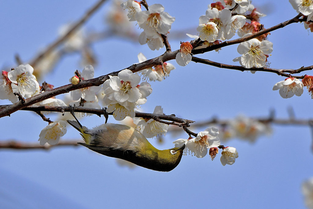 梅林の鳥達_b0024798_15485408.jpg
