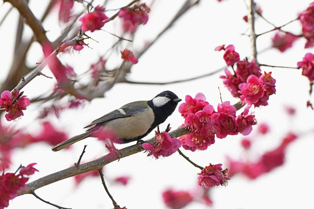 梅林の鳥達_b0024798_15491828.jpg