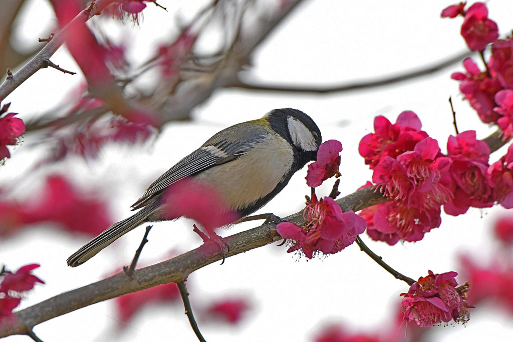 梅林の鳥達_b0024798_15493956.jpg