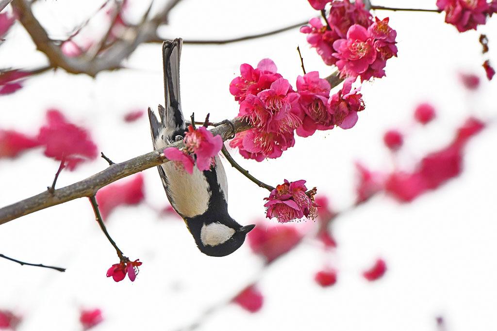 梅林の鳥達_b0024798_15500017.jpg
