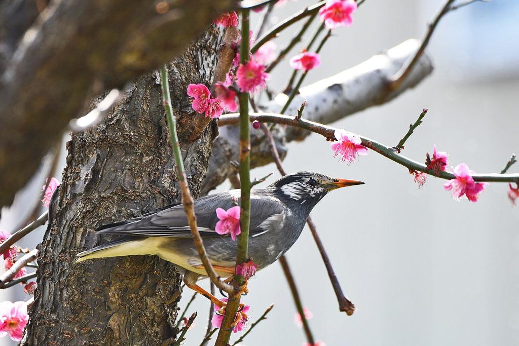 梅林の鳥達_b0024798_15501794.jpg