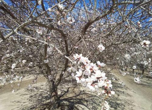 カリフォルニアのアーモンドのお花_e0295926_13372846.png