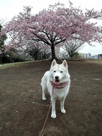 散歩屋で桜_c0062832_13380759.jpg