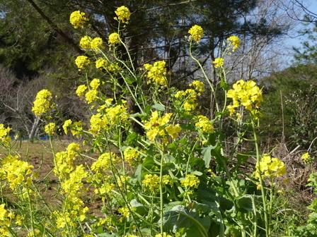 春の日差し。ネコヤナギ開花。_a0123836_16422652.jpg