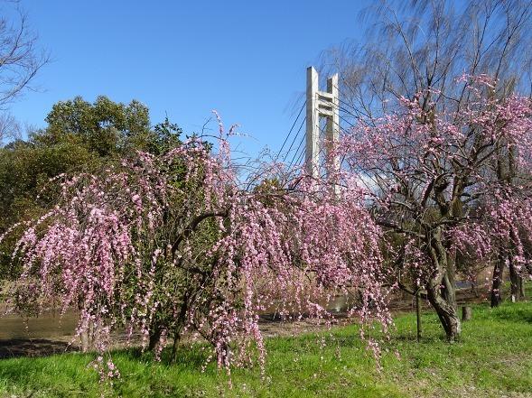 山田池公園の枝垂れ梅といろいろな花_b0299042_20090021.jpg
