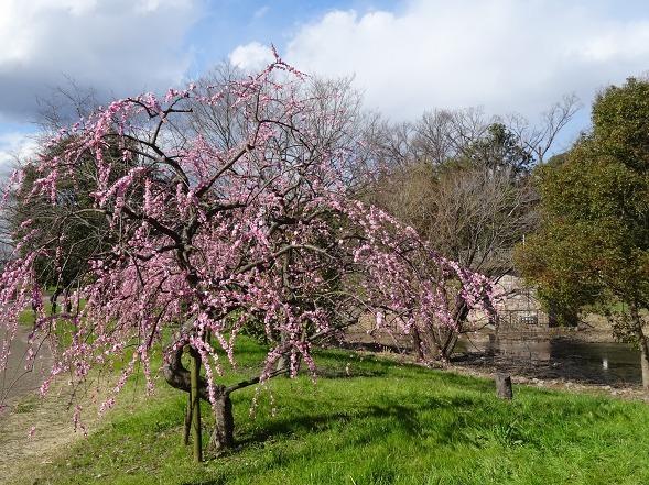 山田池公園の枝垂れ梅といろいろな花_b0299042_20090631.jpg