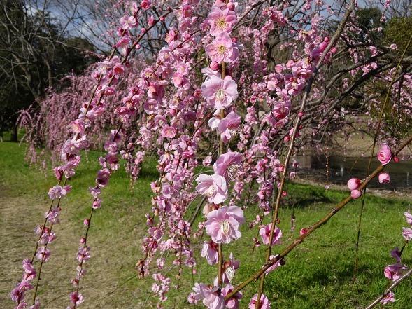 山田池公園の枝垂れ梅といろいろな花_b0299042_20091148.jpg