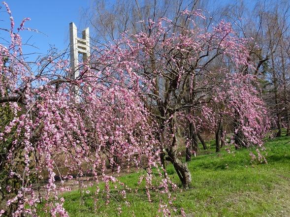 山田池公園の枝垂れ梅といろいろな花_b0299042_20092183.jpg