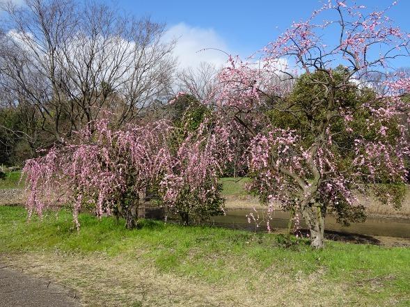 山田池公園の枝垂れ梅といろいろな花_b0299042_20092751.jpg