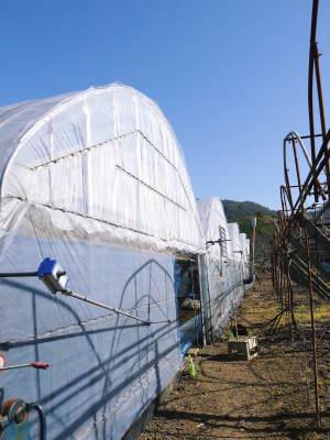 熊本ぶどう 社方園 ハウスの内張り作業を熊本農業高校からの農業実習と共に行っています(2020)前編_a0254656_15231162.jpg