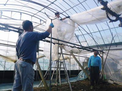 熊本ぶどう 社方園 ハウスの内張り作業を熊本農業高校からの農業実習と共に行っています(2020)前編_a0254656_16270905.jpg