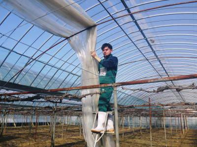 熊本ぶどう 社方園 ハウスの内張り作業を熊本農業高校からの農業実習と共に行っています(2020)前編_a0254656_16595832.jpg