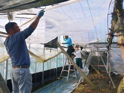 熊本ぶどう 社方園 ハウスの内張り作業を熊本農業高校からの農業実習と共に行っています(2020)前編_a0254656_17090656.jpg