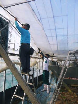 熊本ぶどう 社方園 ハウスの内張り作業を熊本農業高校からの農業実習と共に行っています(2020)前編_a0254656_17133217.jpg