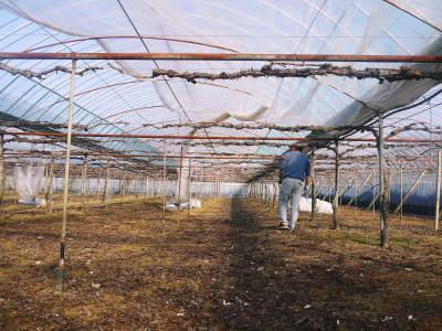熊本ぶどう 社方園 ハウスの内張り作業を熊本農業高校からの農業実習と共に行っています(2020)前編_a0254656_17231679.jpg