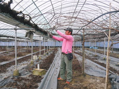 熊本ぶどう 社方園 ハウスの内張り作業を熊本農業高校からの農業実習と共に行っています(2020)前編_a0254656_17265563.jpg