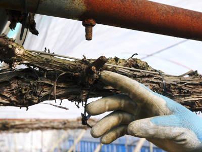 熊本ぶどう 社方園 ハウスの内張り作業を熊本農業高校からの農業実習と共に行っています(2020)前編_a0254656_17294959.jpg