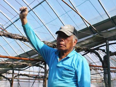 熊本ぶどう 社方園 ハウスの内張り作業を熊本農業高校からの農業実習と共に行っています(2020)前編_a0254656_17392347.jpg