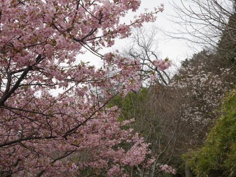 六国見山に春、河津桜、玉縄桜、ウメが見ごろに2・21_c0014967_19054054.jpg