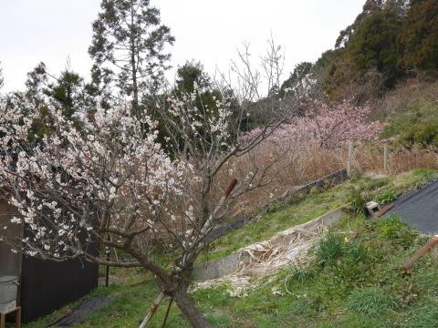 六国見山に春、河津桜、玉縄桜、ウメが見ごろに2・21_c0014967_19055861.jpg