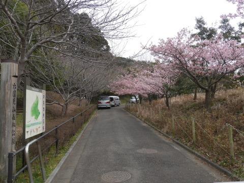 六国見山に春、河津桜、玉縄桜、ウメが見ごろに2・21_c0014967_19061684.jpg