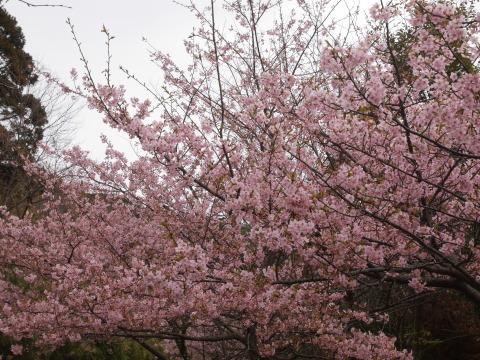 六国見山に春、河津桜、玉縄桜、ウメが見ごろに2・21_c0014967_19064144.jpg