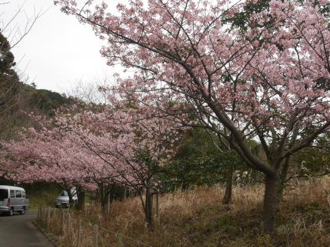 六国見山に春、河津桜、玉縄桜、ウメが見ごろに2・21_c0014967_19065194.jpg