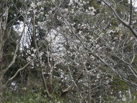 六国見山に春、河津桜、玉縄桜、ウメが見ごろに2・21_c0014967_19080507.jpg
