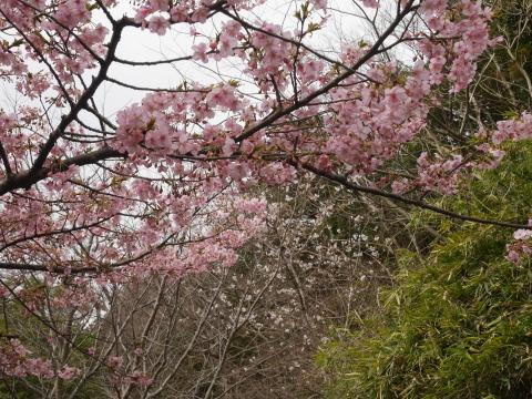 六国見山に春、河津桜、玉縄桜、ウメが見ごろに2・21_c0014967_19082020.jpg