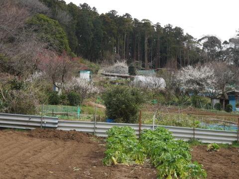 六国見山に春、河津桜、玉縄桜、ウメが見ごろに2・21_c0014967_19092028.jpg