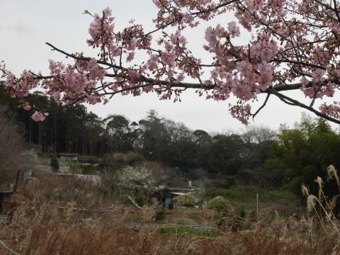 六国見山に春、河津桜、玉縄桜、ウメが見ごろに2・21_c0014967_19093160.jpg