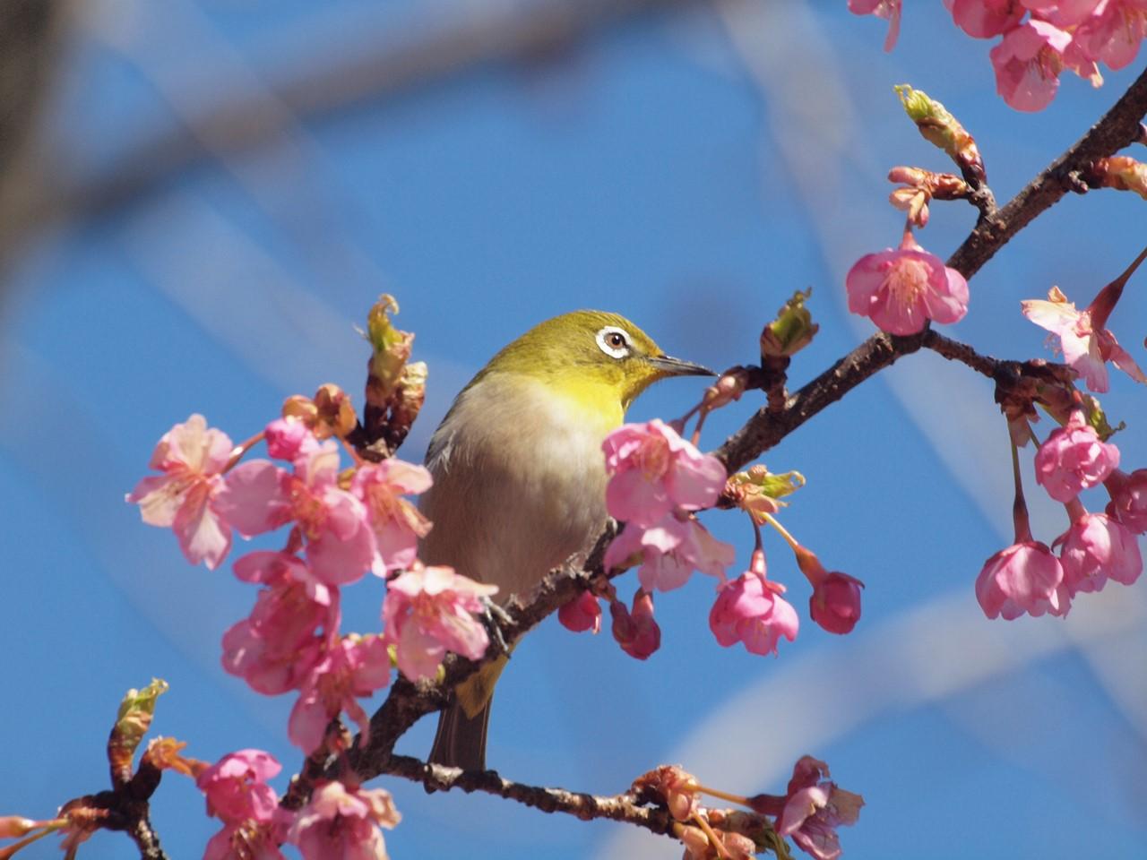 『再び河津桜とメジロを・・・・・』_d0054276_19565382.jpg