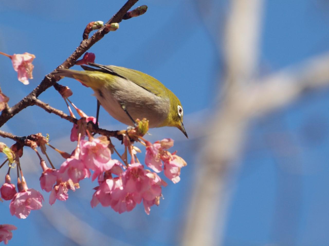 『再び河津桜とメジロを・・・・・』_d0054276_19572136.jpg