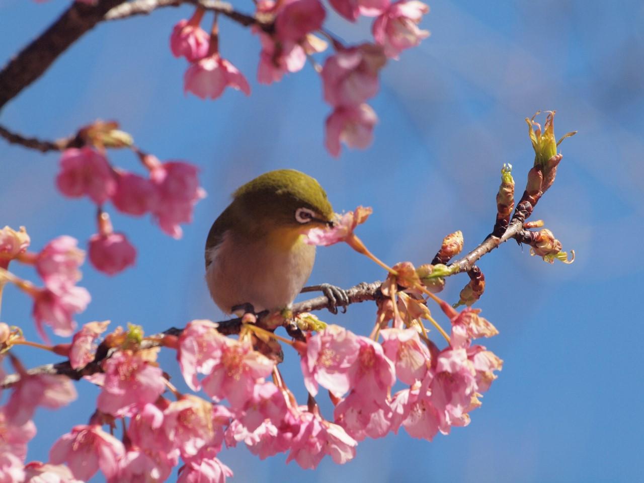 『再び河津桜とメジロを・・・・・』_d0054276_19573396.jpg