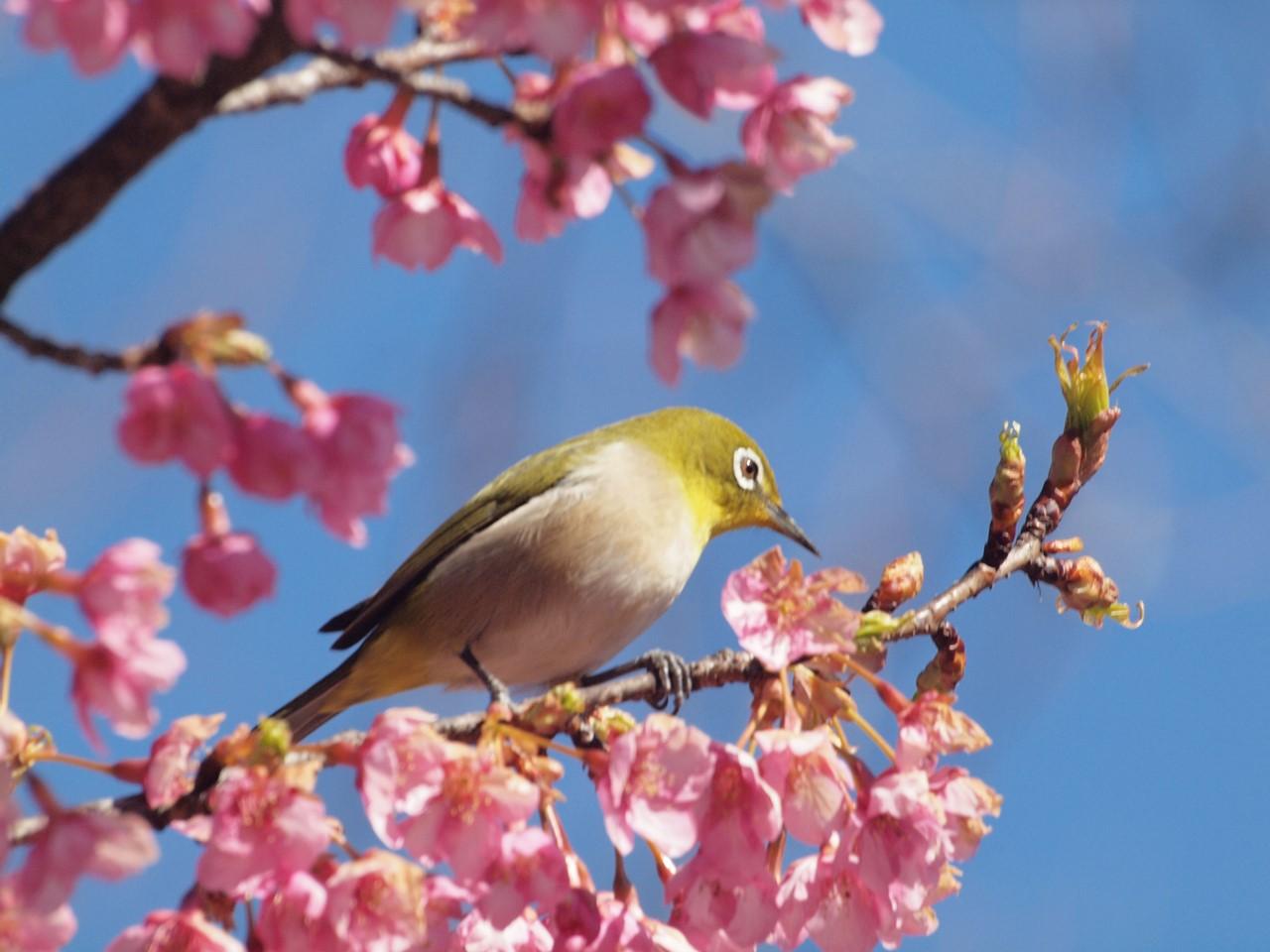『再び河津桜とメジロを・・・・・』_d0054276_19574537.jpg