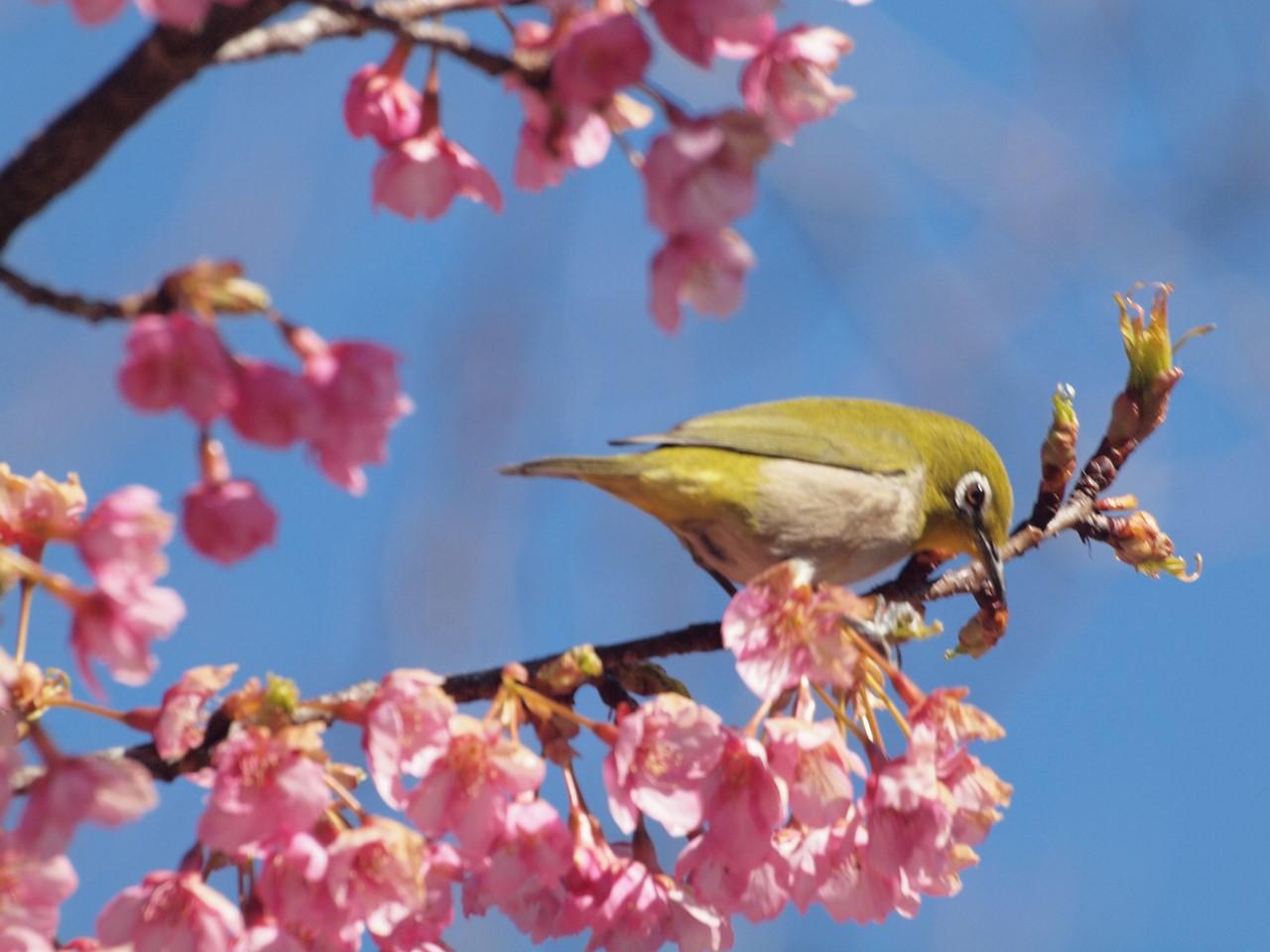 『再び河津桜とメジロを・・・・・』_d0054276_19575634.jpg